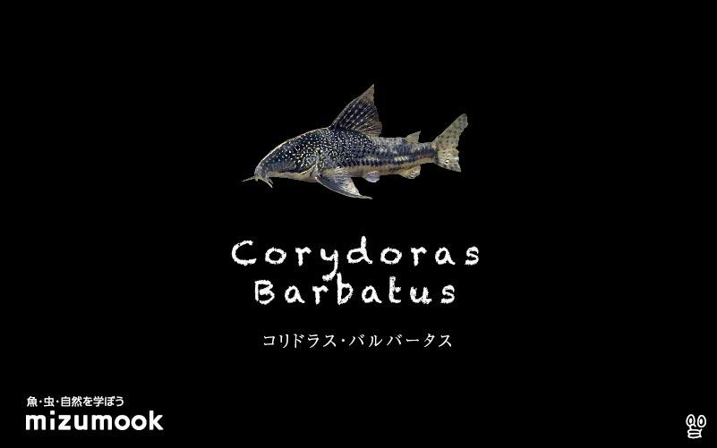コリドラス バルバータスの飼い方/飼育・混泳・大きさ・繁殖・種類
