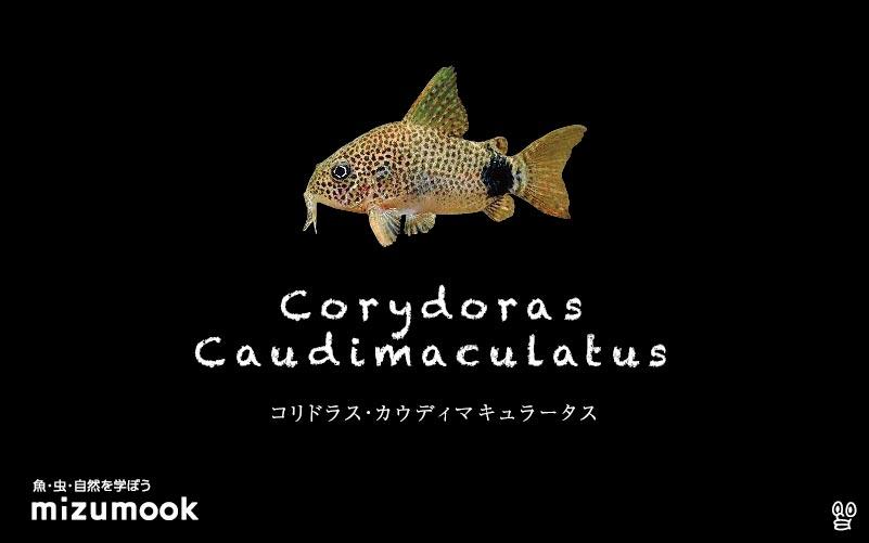 コリドラス カウディマキュラータスの飼い方/飼育・混泳・大きさ・繁殖・種類