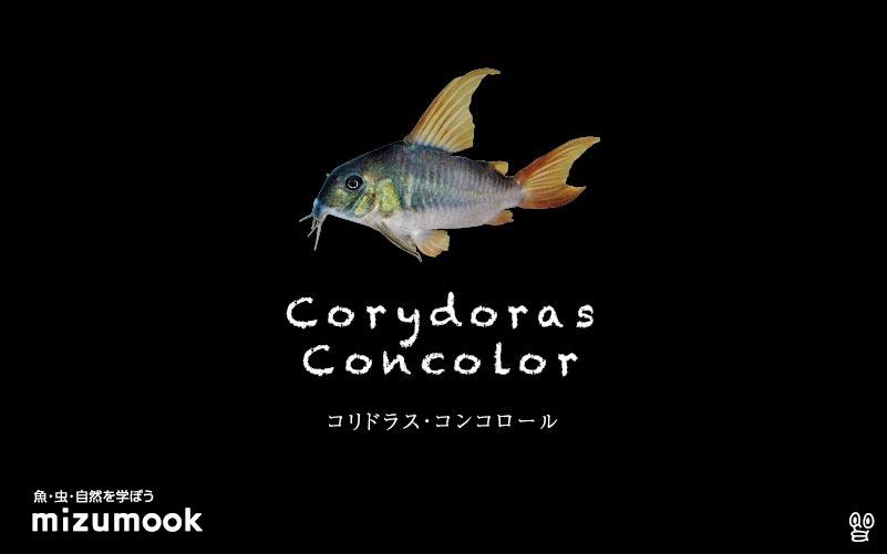 コリドラス コンコロールの飼い方/飼育・混泳・大きさ・繁殖・種類