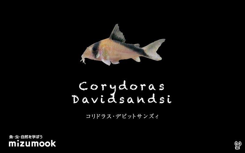 コリドラス デビッドサンジーの飼い方/飼育・混泳・大きさ・繁殖・種類