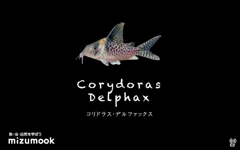 コリドラス デルファックスの飼い方/飼育・混泳・大きさ・繁殖・種類