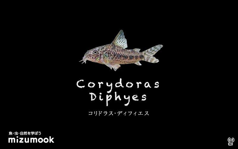 コリドラス ディフィエスの飼い方/飼育・混泳・大きさ・繁殖・種類