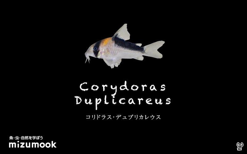 コリドラス デュプリカレウスの飼い方/飼育・混泳・大きさ・繁殖・種類