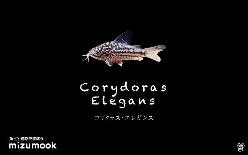 コリドラス エレガンスの飼い方/飼育・混泳・大きさ・繁殖・種類