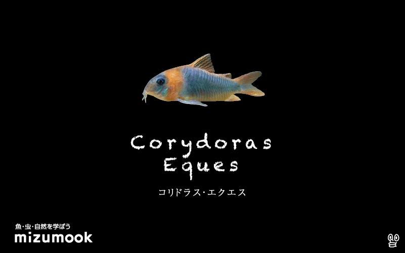 コリドラス エクエスの飼い方/飼育・混泳・大きさ・繁殖・種類