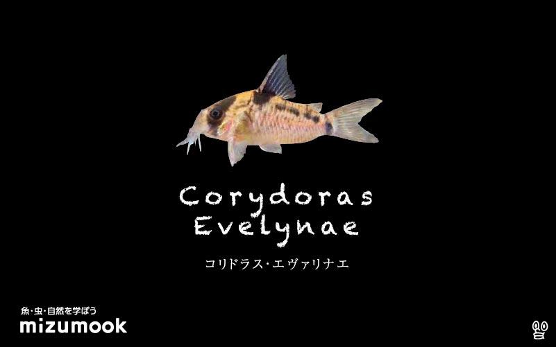 コリドラス エヴァリナエの飼い方/飼育・混泳・大きさ・繁殖・種類