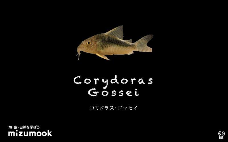 コリドラス ゴッセイの飼い方/飼育・混泳・大きさ・繁殖・種類