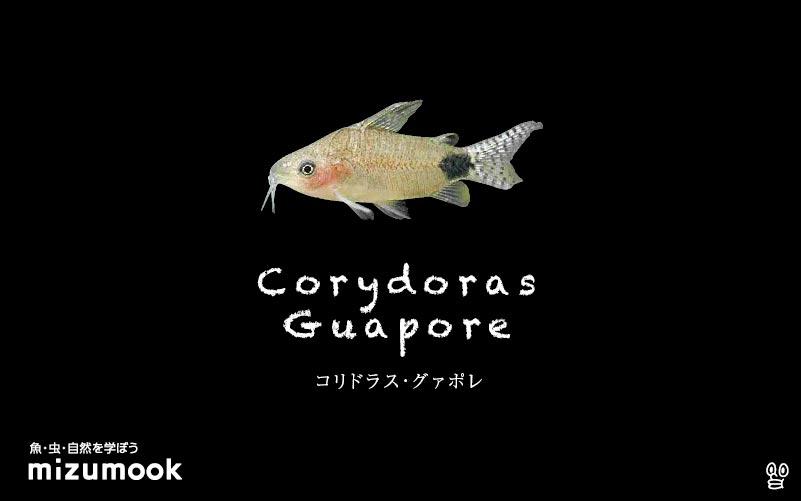 コリドラス グァポレの飼い方/飼育・混泳・大きさ・繁殖・種類