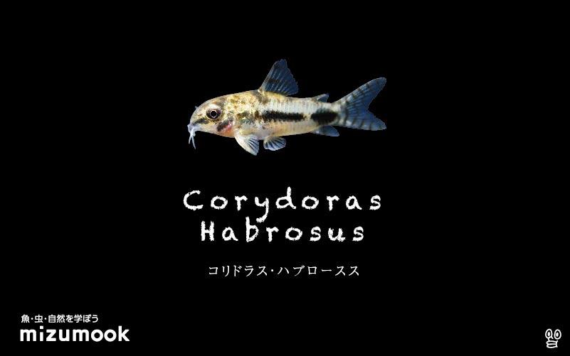 コリドラス ハブローススの飼い方/飼育・混泳・大きさ・繁殖・種類