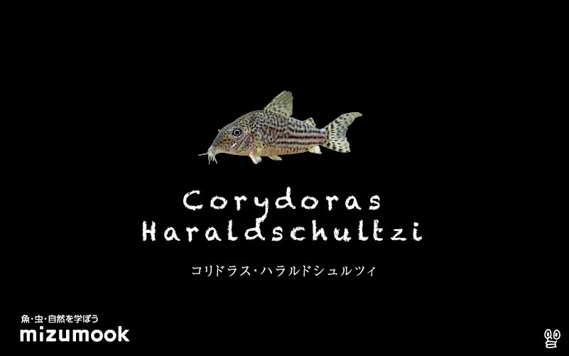 コリドラス ハラルドシュルツィの飼い方/飼育・混泳・大きさ・繁殖・種類