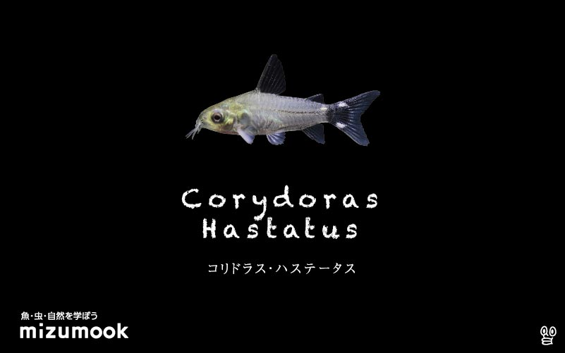 コリドラス ハステータスの飼い方/飼育・混泳・大きさ・繁殖・種類