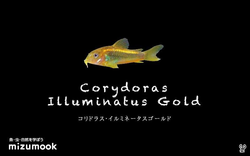 コリドラス イルミネータスゴールドの飼い方/飼育・混泳・大きさ・繁殖・種類