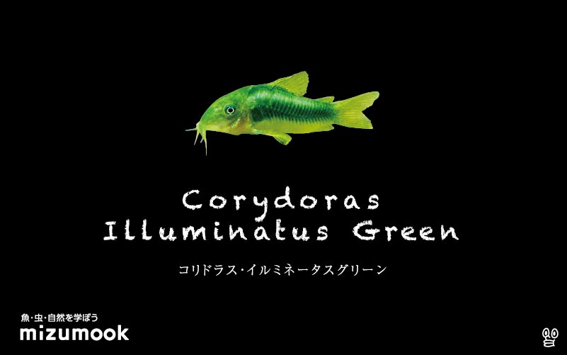 コリドラス イルミネータスグリーンの飼い方/飼育・混泳・大きさ・繁殖・種類