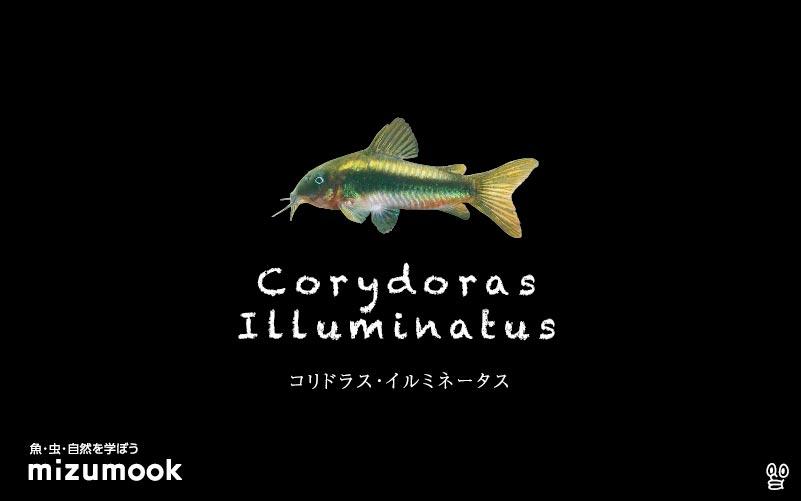 コリドラス イルミネータスの飼い方/飼育・混泳・大きさ・繁殖・種類