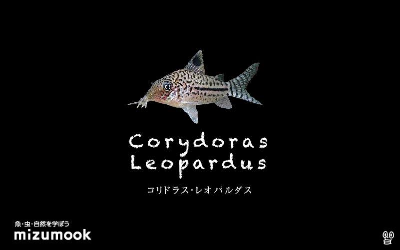 コリドラス レオパルダスの飼い方/飼育・混泳・大きさ・繁殖・種類