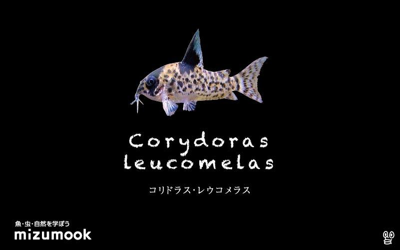 コリドラス レウコメラスの飼い方/飼育・混泳・大きさ・繁殖・種類