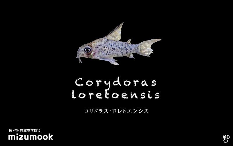 コリドラス ロレトエンシスの飼い方/飼育・混泳・大きさ・繁殖・種類