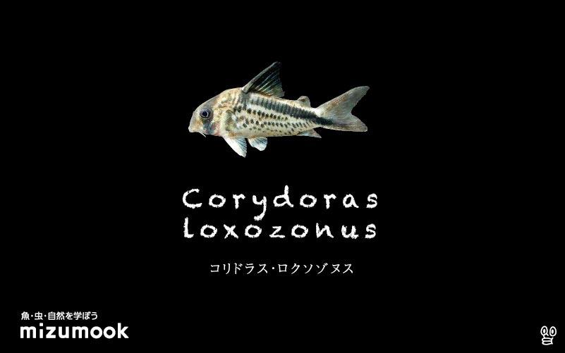 コリドラス ロクソゾヌスの飼い方/飼育・混泳・大きさ・繁殖・種類