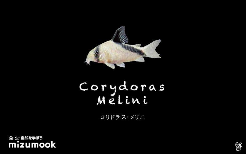 コリドラス メリニの飼い方/飼育・混泳・大きさ・繁殖・種類
