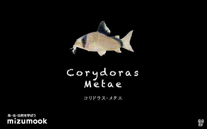 コリドラス メタエの飼い方/飼育・混泳・大きさ・繁殖・種類