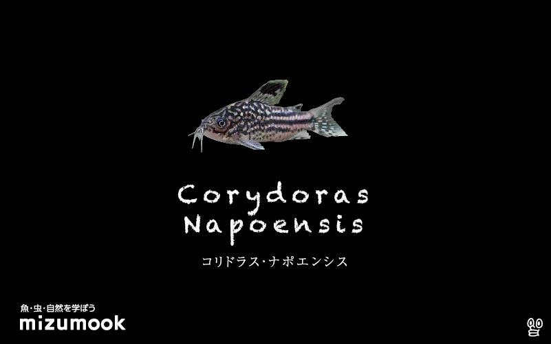 コリドラス ナポエンシスの飼い方/飼育・混泳・大きさ・繁殖・種類