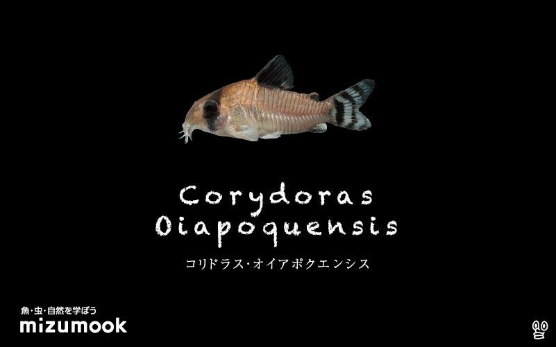 コリドラス オイアポクエンシスの飼い方/飼育・混泳・大きさ・繁殖・種類