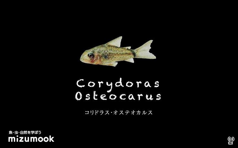 コリドラス オステオカルスの飼い方/飼育・混泳・大きさ・繁殖・種類