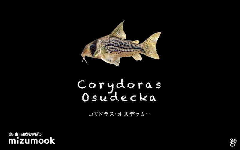 コリドラス オスデッカーの飼い方/飼育・混泳・大きさ・繁殖・種類