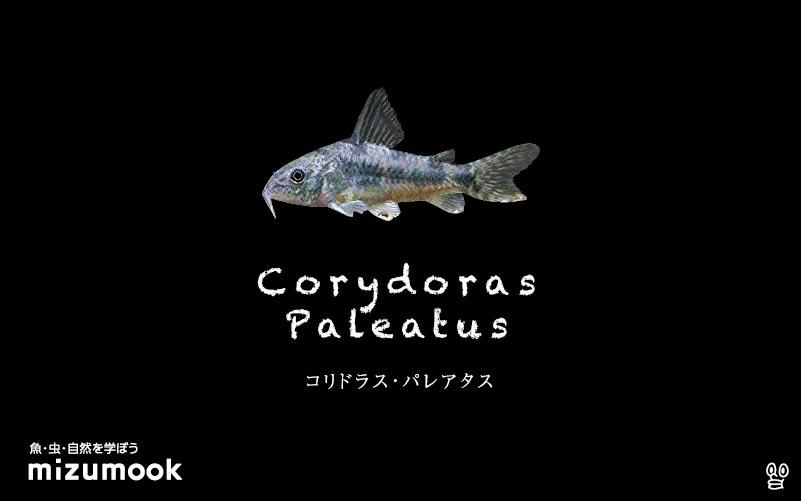 コリドラス パレアタスの飼い方/飼育・混泳・大きさ・繁殖・種類