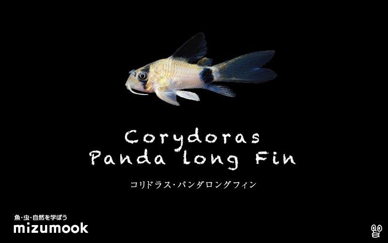 コリドラス パンダロングフィンの飼い方/飼育・混泳・大きさ・繁殖・種類