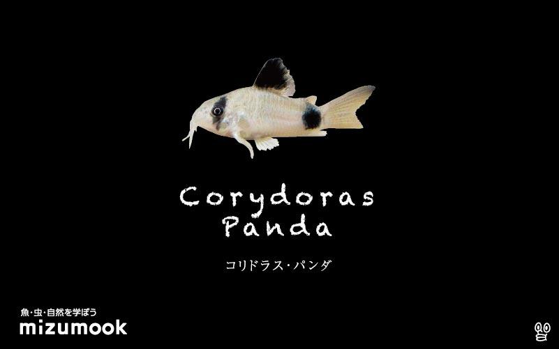 コリドラス パンダの飼い方/飼育・混泳・大きさ・繁殖・種類