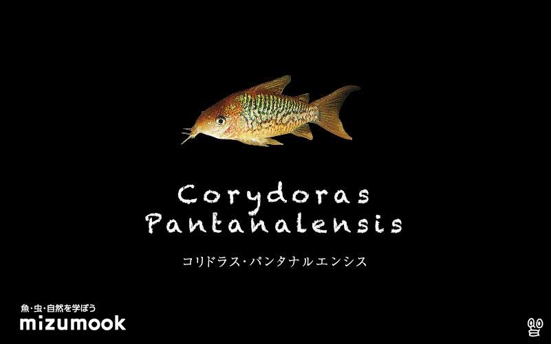 コリドラス パンタナルエンシスの飼い方/飼育・混泳・大きさ・繁殖・種類