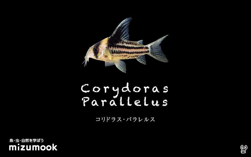 コリドラス パラレルスの飼い方/飼育・混泳・大きさ・繁殖・種類