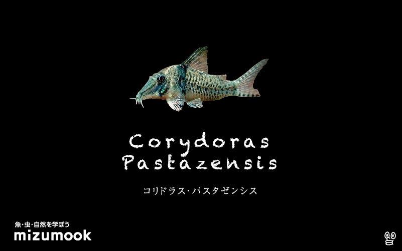 コリドラス パスタゼンシスの飼い方/飼育・混泳・大きさ・繁殖・種類