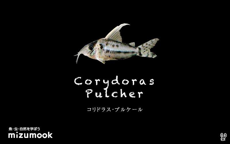 コリドラス プルケールの飼い方/飼育・混泳・大きさ・繁殖・種類