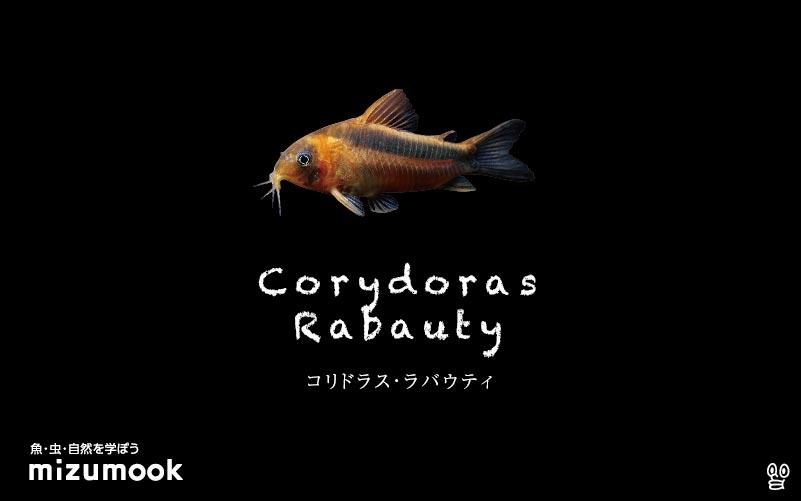 コリドラス ラバウティの飼い方/飼育・混泳・大きさ・繁殖・種類