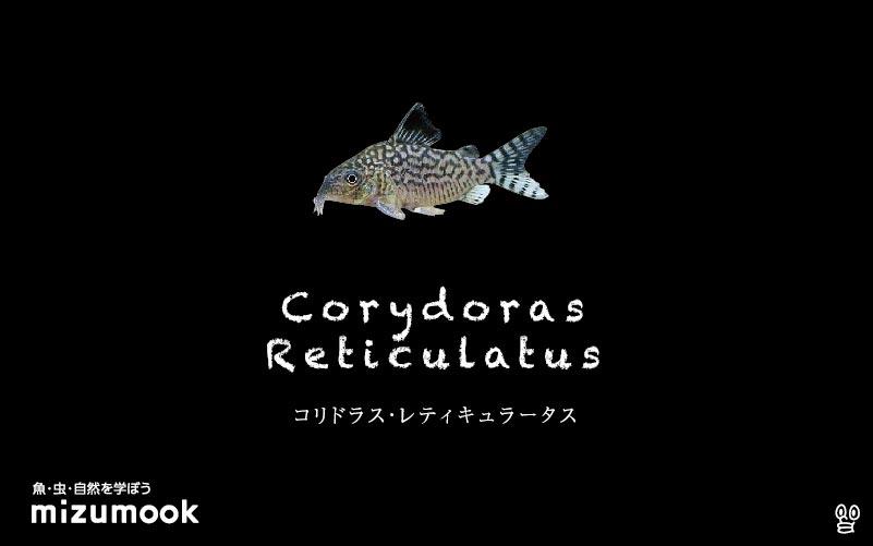 コリドラス レティキュラータスの飼い方/飼育・混泳・大きさ・繁殖・種類