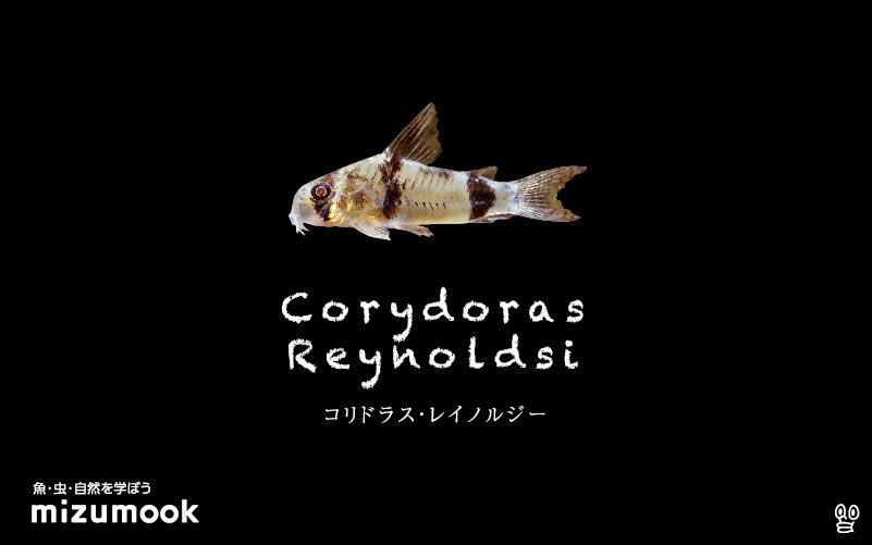 コリドラス レイノルジーの飼い方/飼育・混泳・大きさ・繁殖・種類