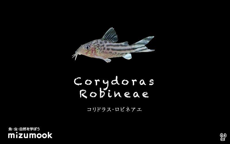 コリドラス ロビネアエの飼い方/飼育・混泳・大きさ・繁殖・種類