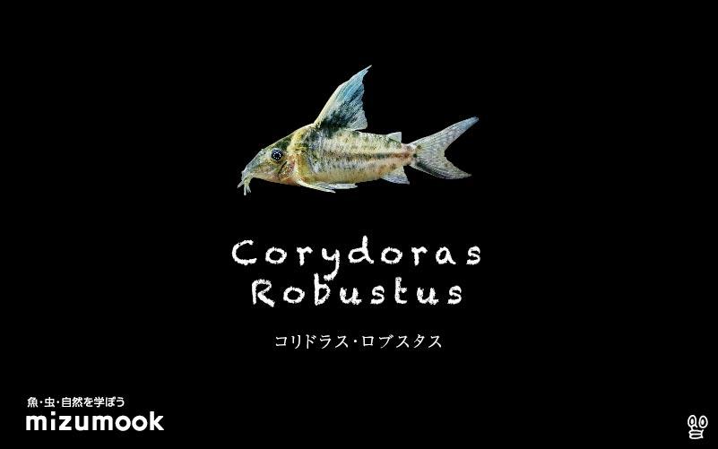 コリドラス ロブスタスの飼い方/飼育・混泳・大きさ・繁殖・種類