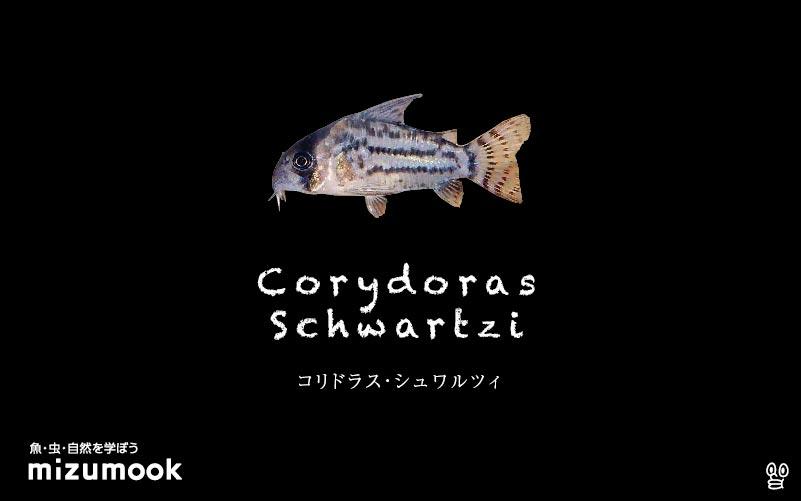 コリドラス シュワルツィの飼い方/飼育・混泳・大きさ・繁殖・種類