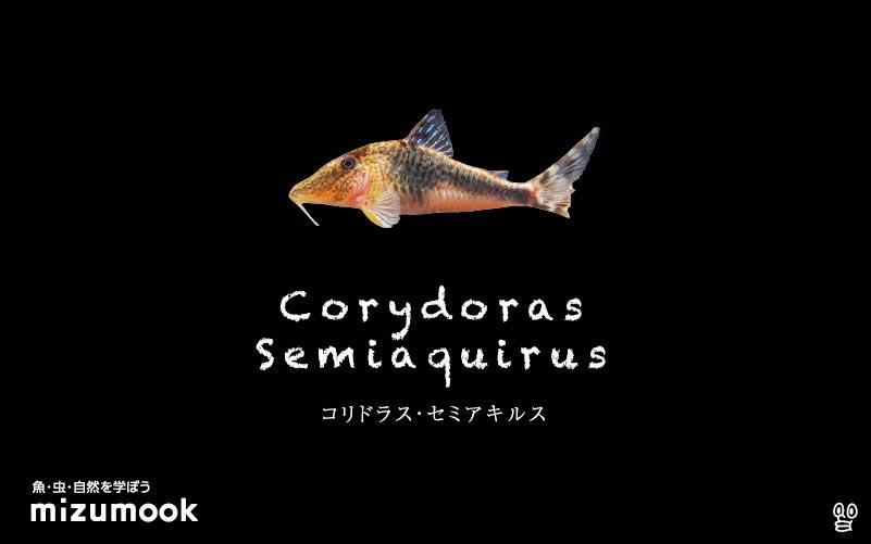 コリドラス セミアキルスの飼い方/飼育・混泳・大きさ・繁殖・種類