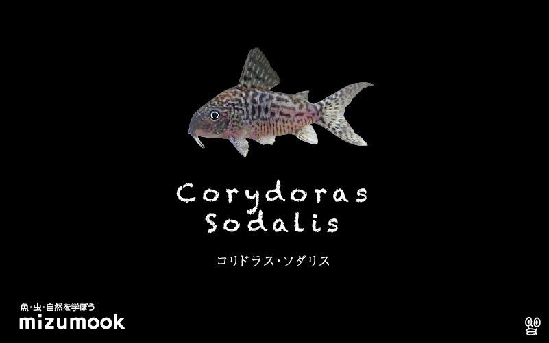 コリドラス ソダリスの飼い方/飼育・混泳・大きさ・繁殖・種類
