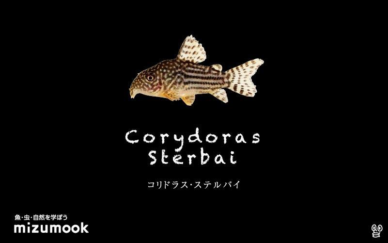 コリドラス ステルバイの飼い方/飼育・混泳・大きさ・繁殖・種類