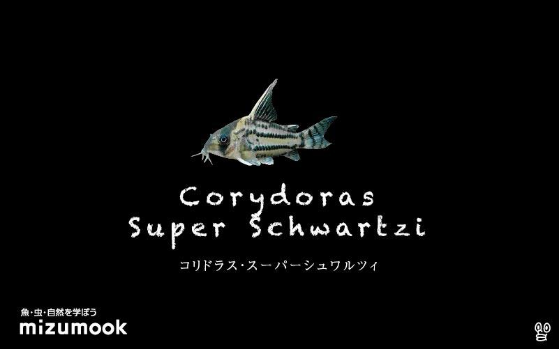 コリドラス スーパーシュワルツィの飼い方/飼育・混泳・大きさ・繁殖・種類