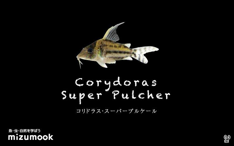 コリドラス スーパープルケールの飼い方/飼育・混泳・大きさ・繁殖・種類