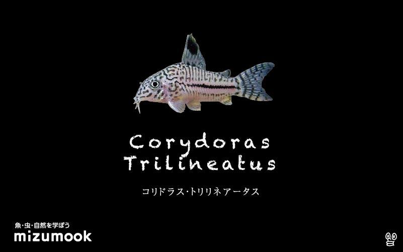 コリドラス トリリネアータスの飼い方/飼育・混泳・大きさ・繁殖・種類