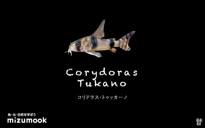 コリドラス トゥッカーノの飼い方/飼育・混泳・大きさ・繁殖・種類