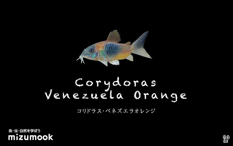 ベネズエラ オレンジ コリドラス