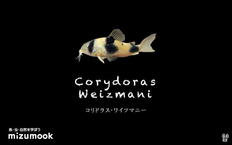 コリドラス ワイツマニーの飼い方/飼育・混泳・大きさ・繁殖・種類